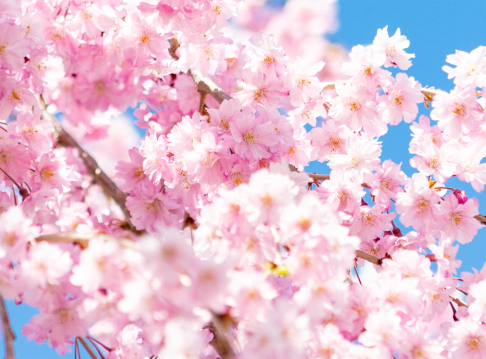 紅しだれ桜05の写真素材