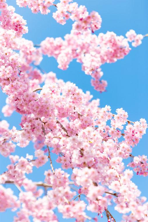 紅しだれ桜06の写真素材