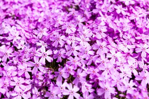 満開の芝桜02の写真素材