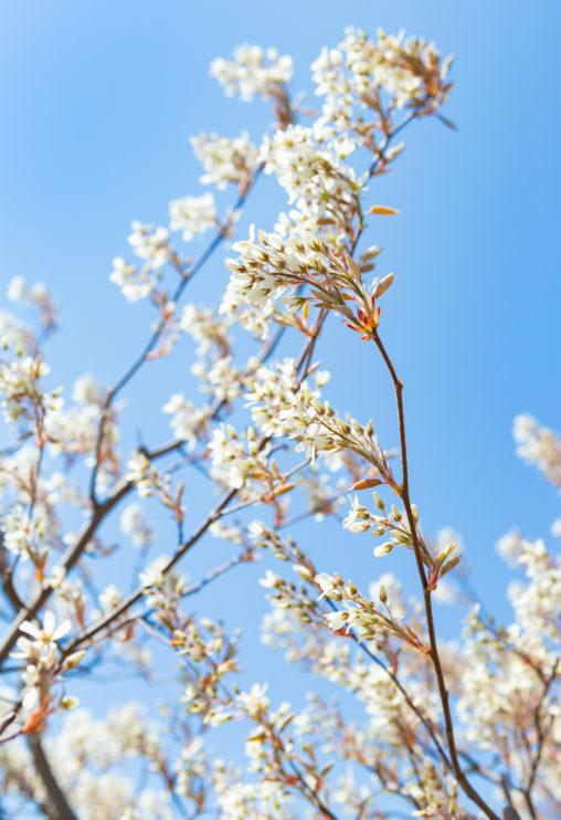 ジューンベリーの花の写真素材