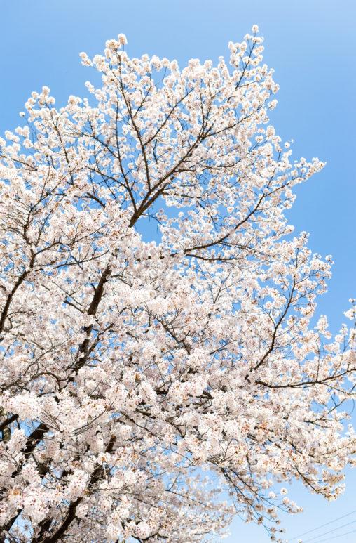 満開のソメイヨシノ(桜)の写真素材