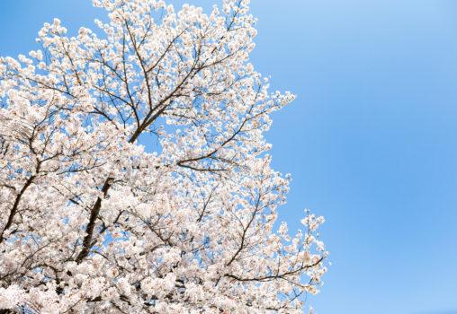 満開のソメイヨシノ(桜)02の写真素材
