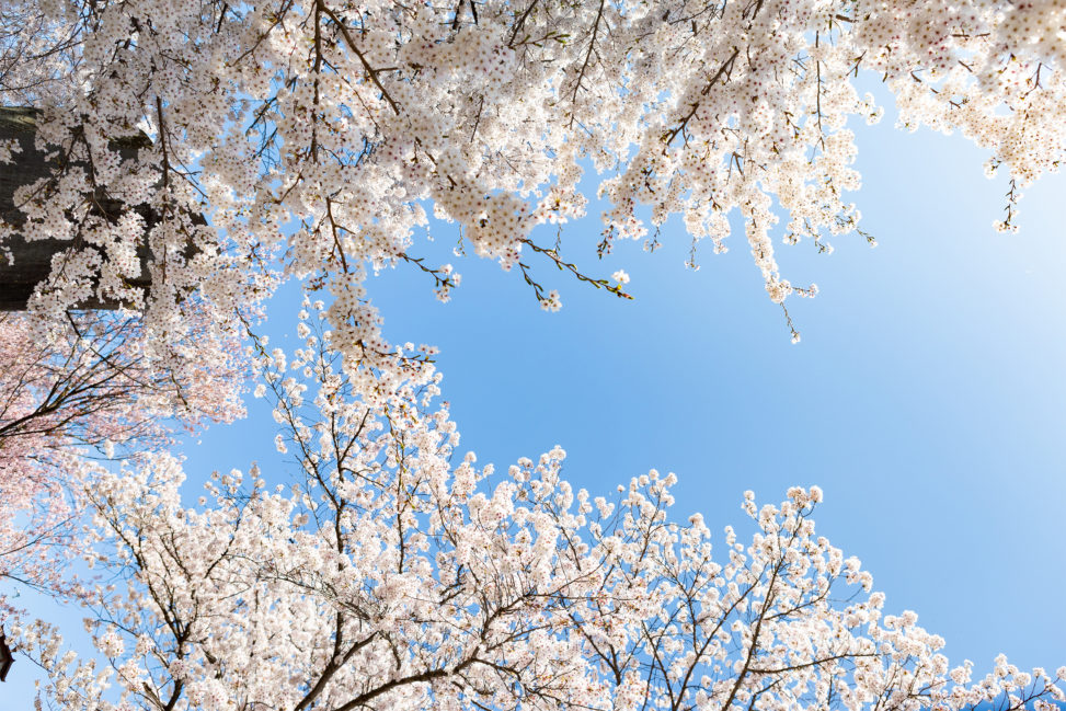 満開のソメイヨシノ(桜)と青空の写真素材