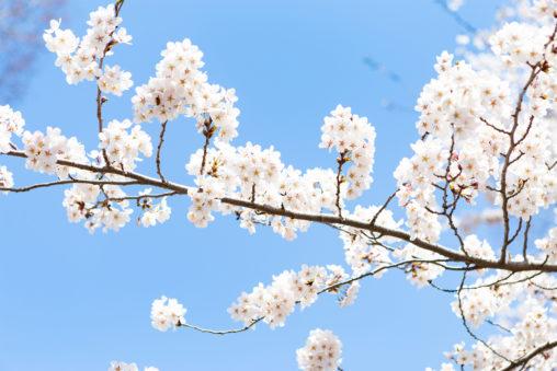 ソメイヨシノ(桜)の写真素材