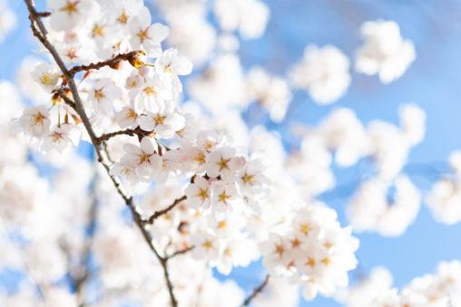 ソメイヨシノ(桜)02の写真素材