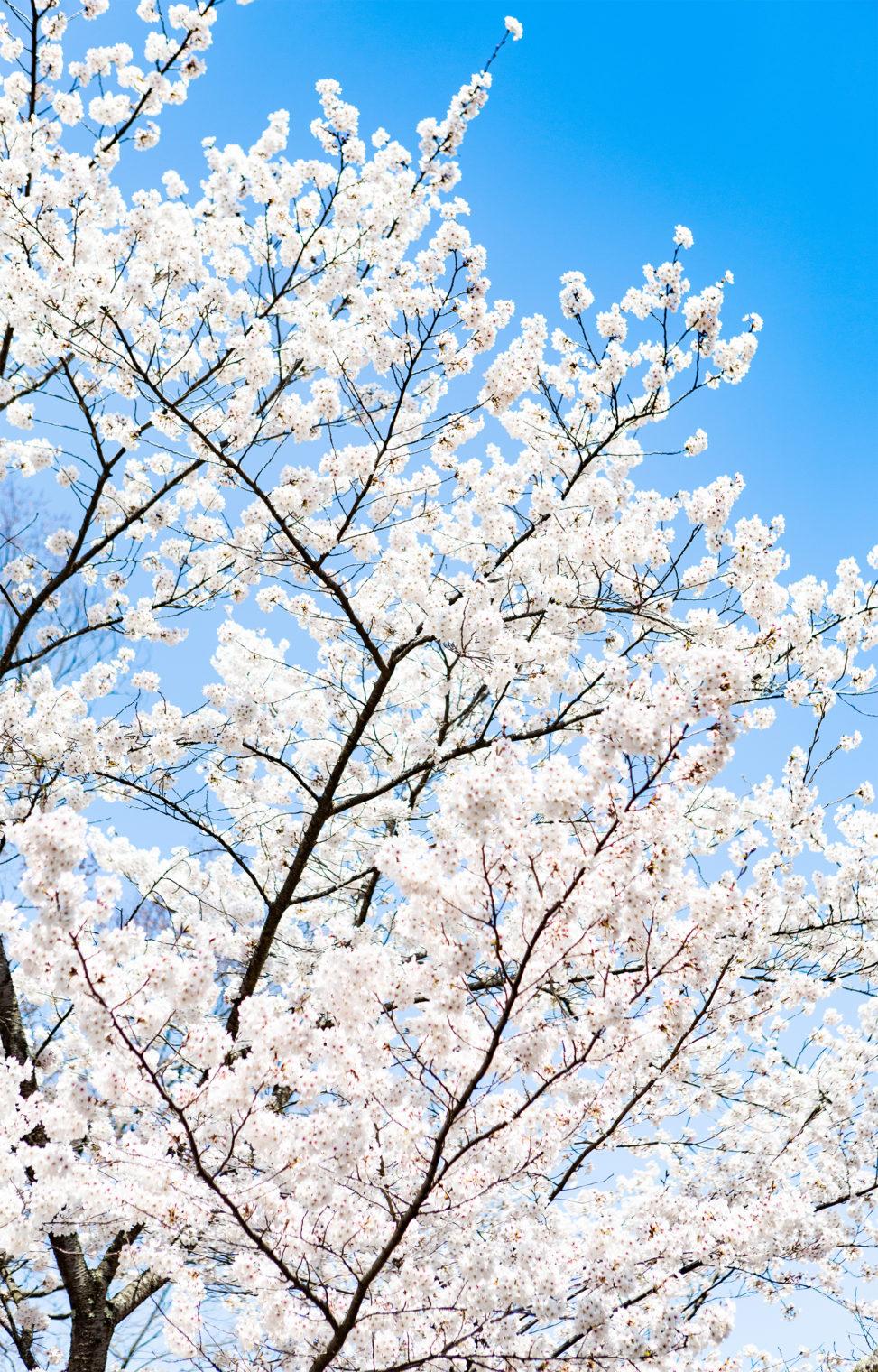 満開のソメイヨシノ(桜)03の写真素材
