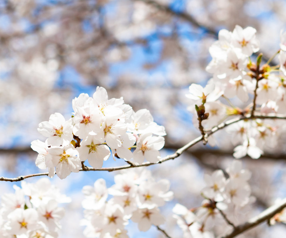 ソメイヨシノ(桜)03の写真素材