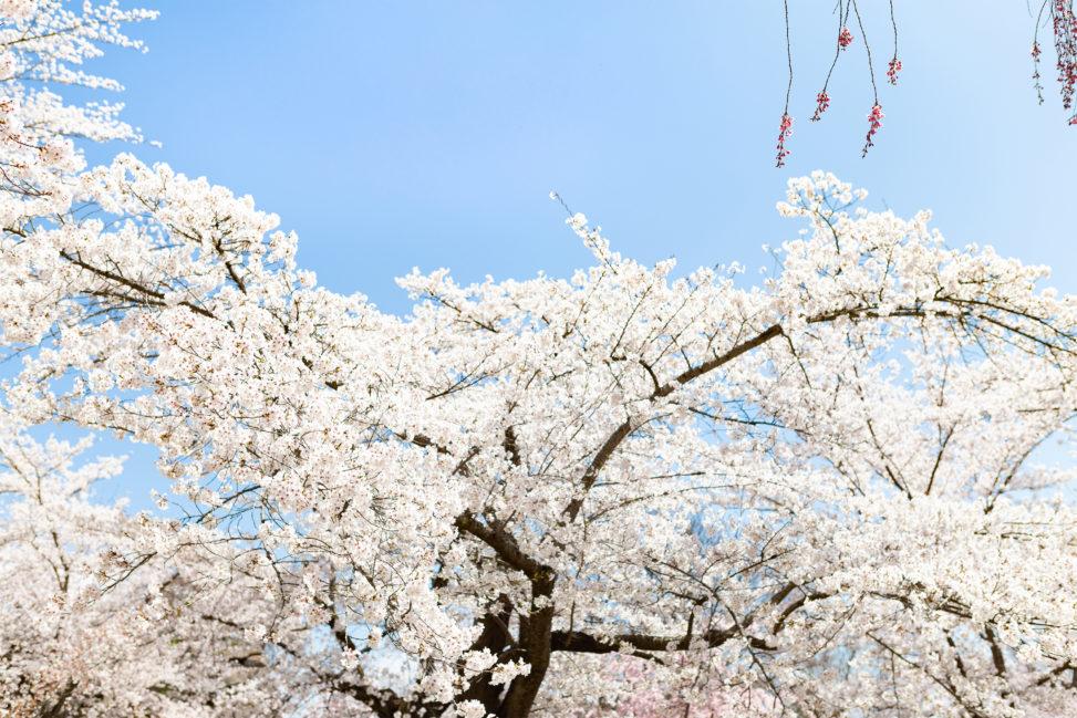 満開のソメイヨシノ(桜)04の写真素材