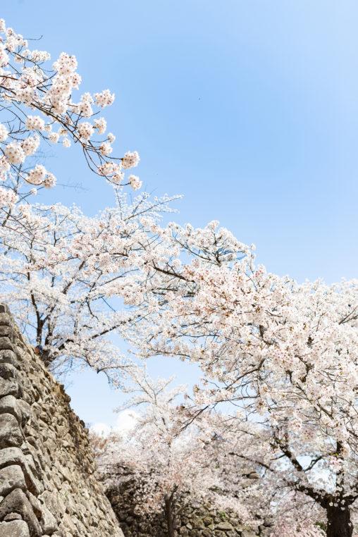 石垣とソメイヨシノ(桜)の写真素材