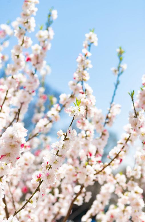 花桃(ハナモモ)の写真素材
