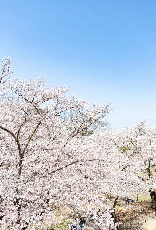 満開の桜(さくら)と青空の写真素材