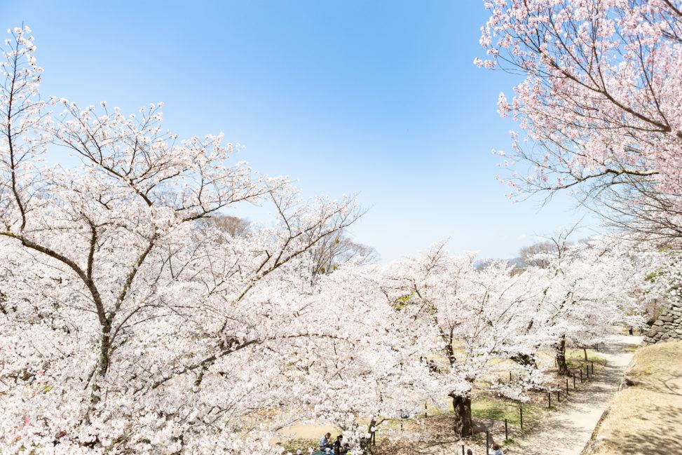 満開の桜(さくら)と青空02の写真素材