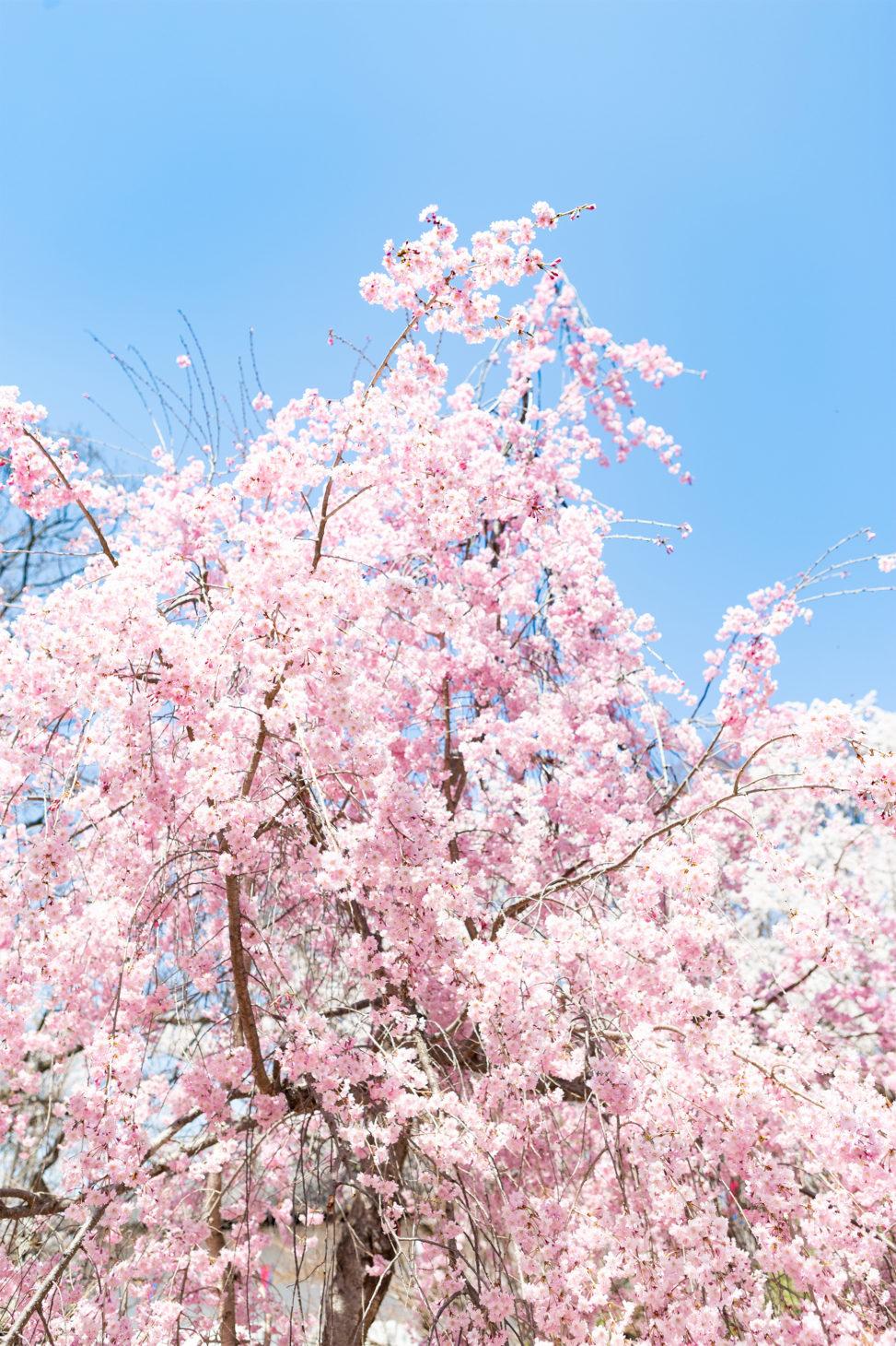 八重紅しだれ桜の写真素材