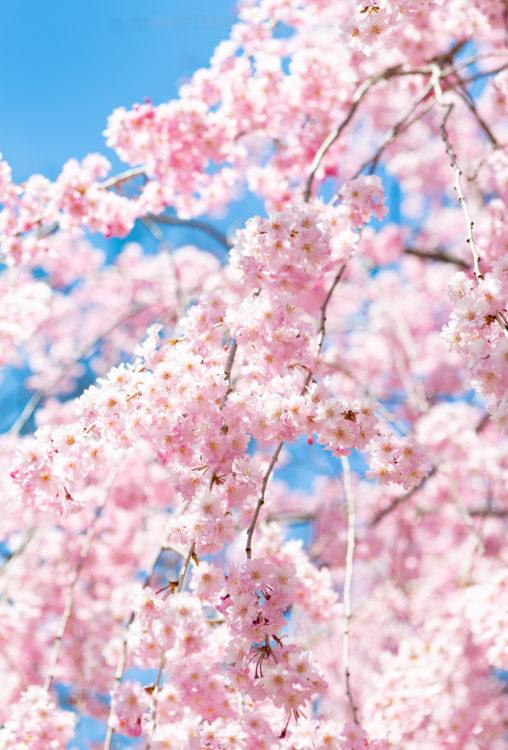八重紅しだれ桜02の写真素材