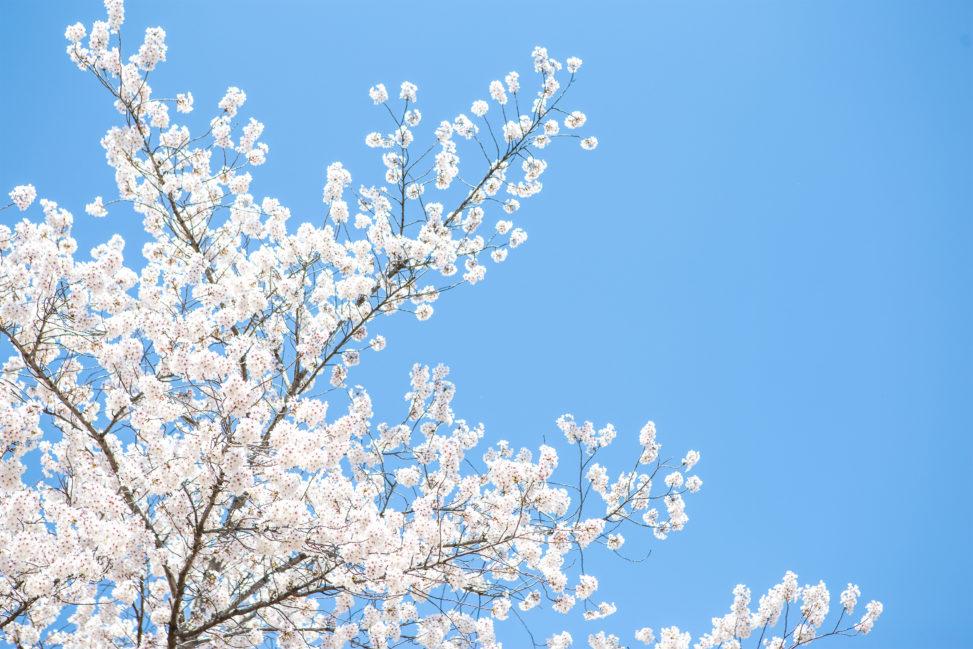 満開の桜(さくら)と青空03の写真素材