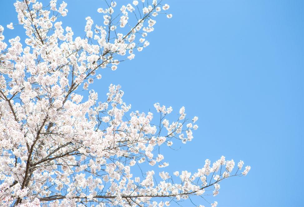 満開の桜(さくら)と青空04の写真素材