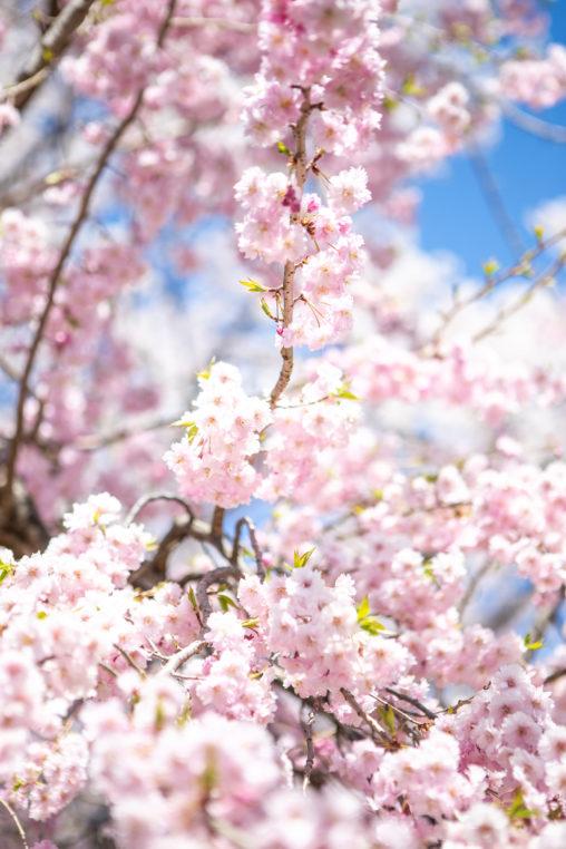 満開の八重紅しだれ桜(さくら)の写真素材