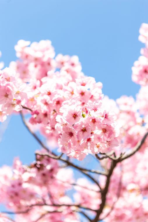 満開の八重紅しだれ桜(さくら)02の写真素材