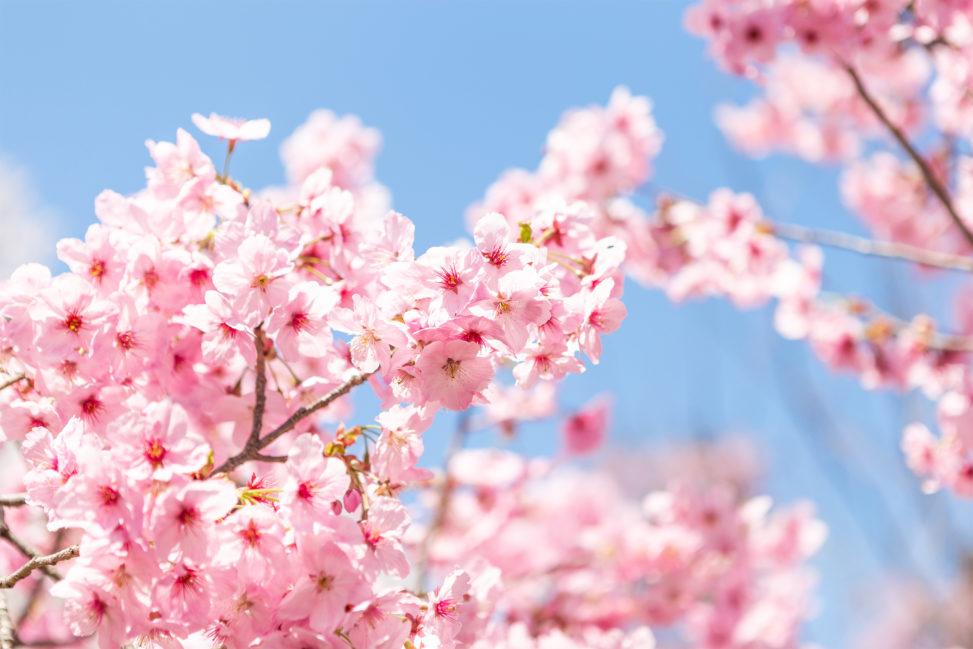 満開の八重紅しだれ桜(さくら)03の写真素材