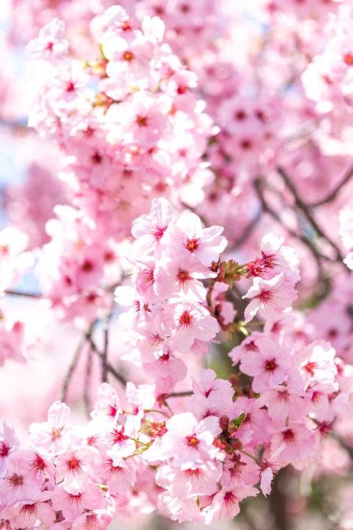 満開の八重紅しだれ桜(さくら)04の写真素材