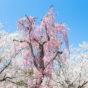 満開のしだれ桜(さくら)とソメイヨシノの写真素材