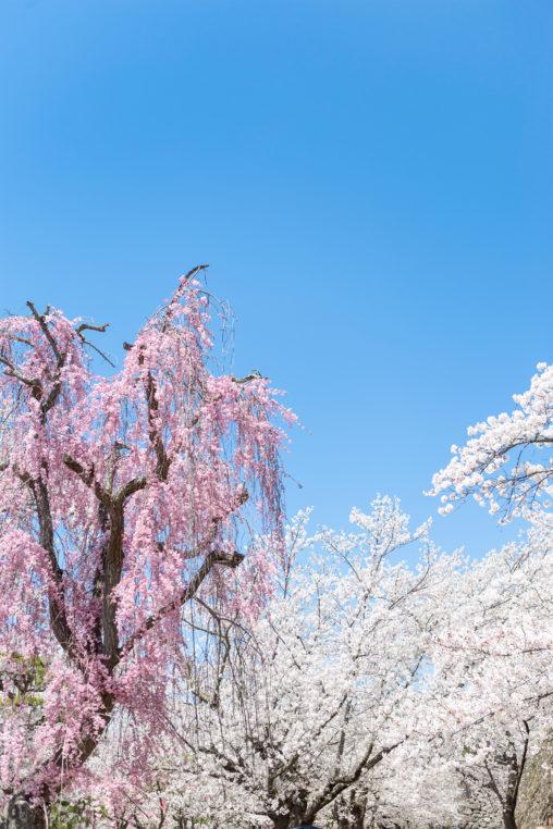 満開のしだれ桜(さくら)とソメイヨシノ02の写真素材