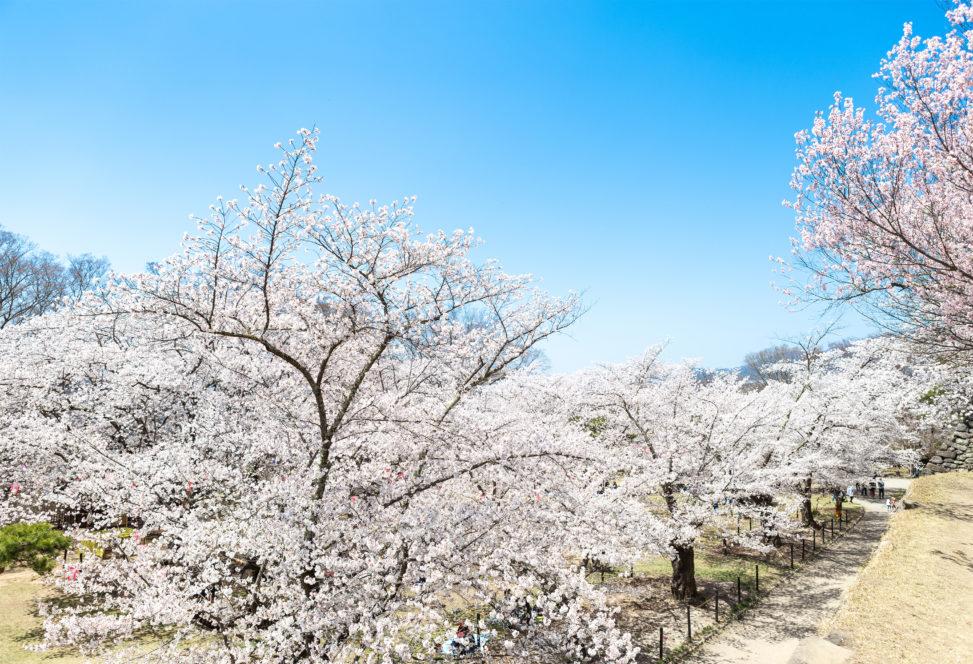 お花見・満開の桜(さくら)の写真素材