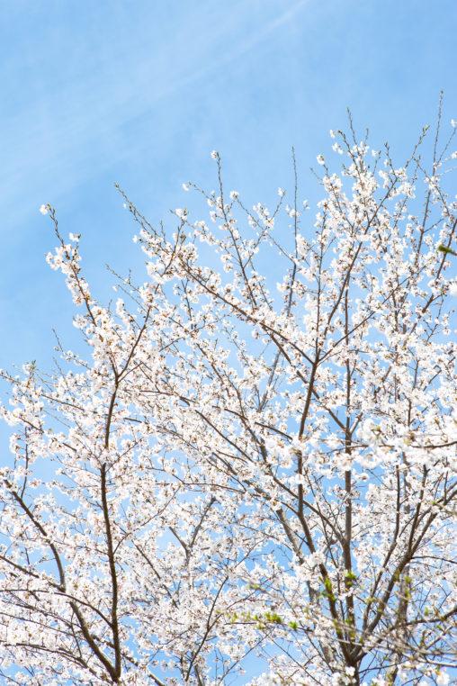 お花見・満開の桜(さくら)02の写真素材