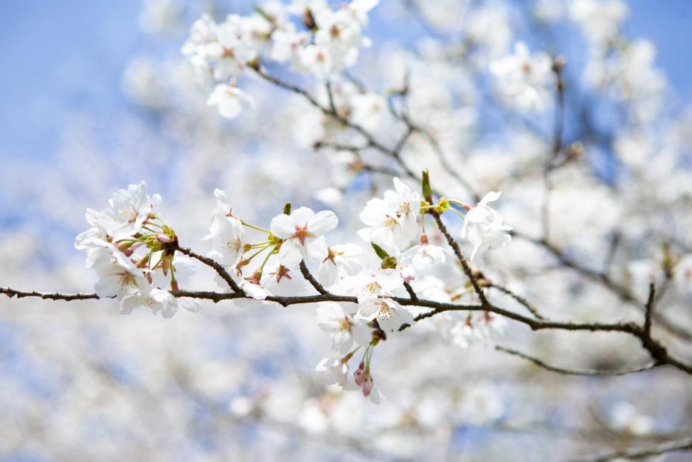 桜(さくら)の花びらの写真素材