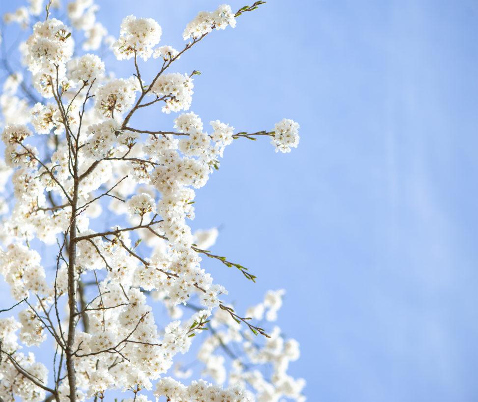 お花見・満開の桜(さくら)03の写真素材