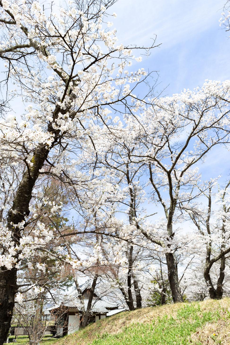 お花見・満開の桜(さくら)04の写真素材