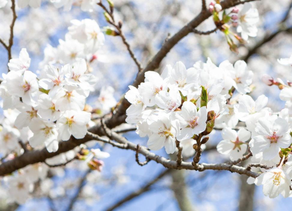 桜(さくら)の花びら02の写真素材