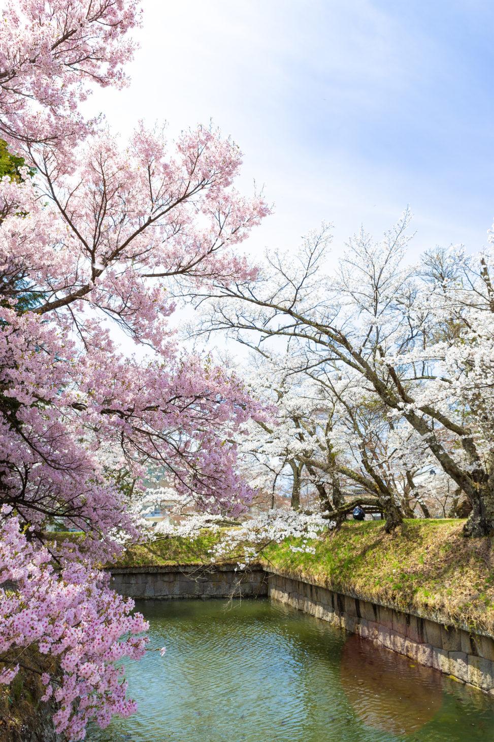 お花見・満開の桜(さくら)05の写真素材