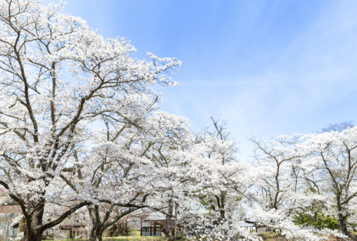 お花見・満開の桜(さくら)06の写真素材