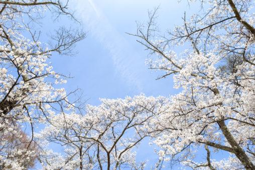 お花見・満開の桜(さくら)07の写真素材