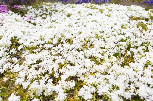 芝桜(白)の写真素材