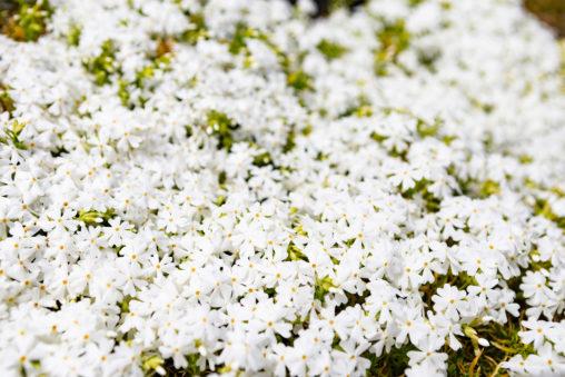 芝桜(白)02の写真素材
