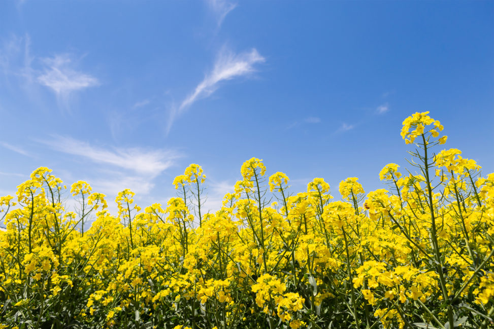 菜の花と青空の写真素材