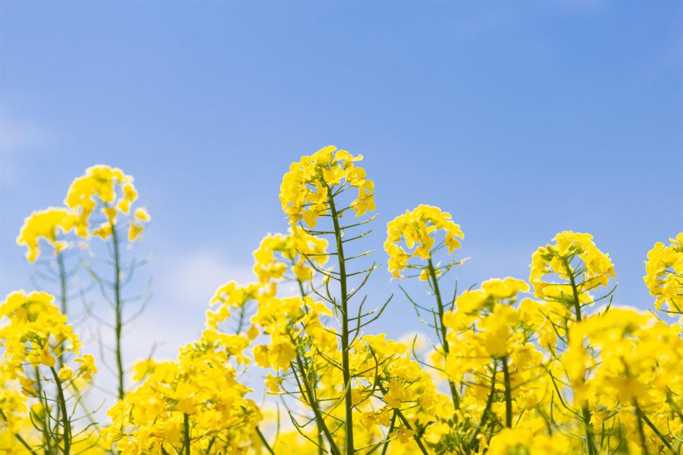 菜の花と青空02の写真素材