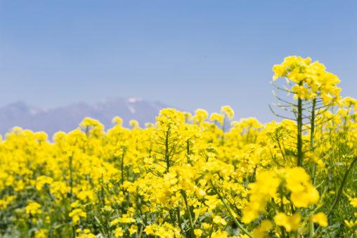 菜の花と青空03の写真素材