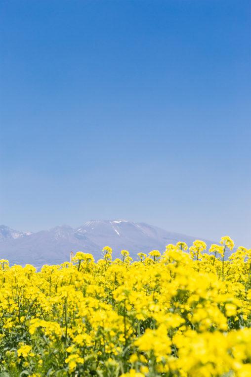 菜の花畑と浅間山の写真素材