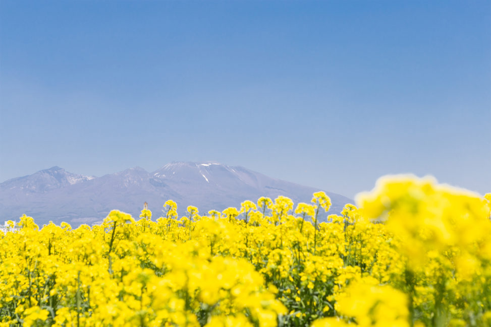 菜の花畑と浅間山02の写真素材
