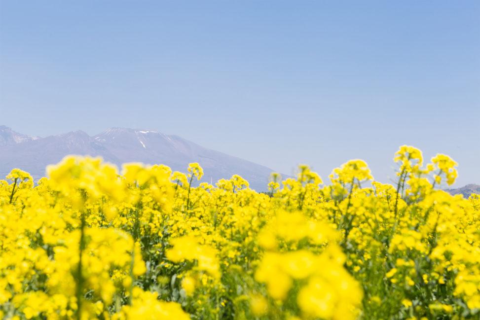 菜の花畑と浅間山03の写真素材