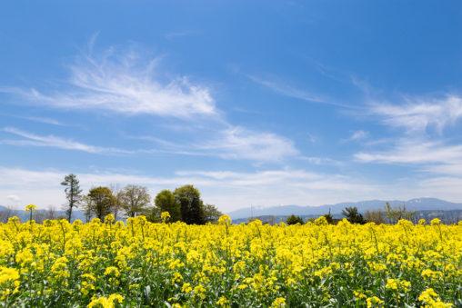 満開の菜の花畑と山の風景の写真素材