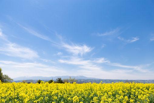 菜の花畑と青い空の写真素材