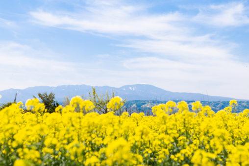 満開の菜の花畑と山の風景02の写真素材