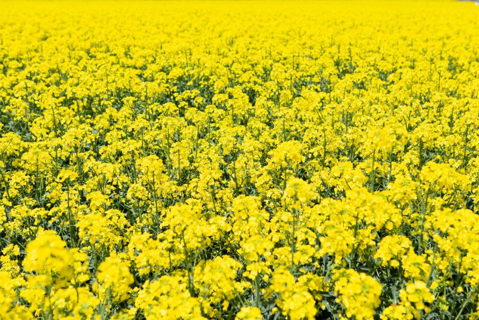 満開の菜の花畑の写真素材