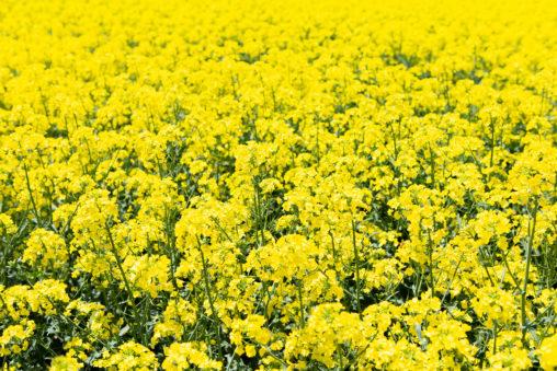 満開の菜の花畑02の写真素材