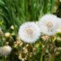 たんぽぽの綿毛の写真素材