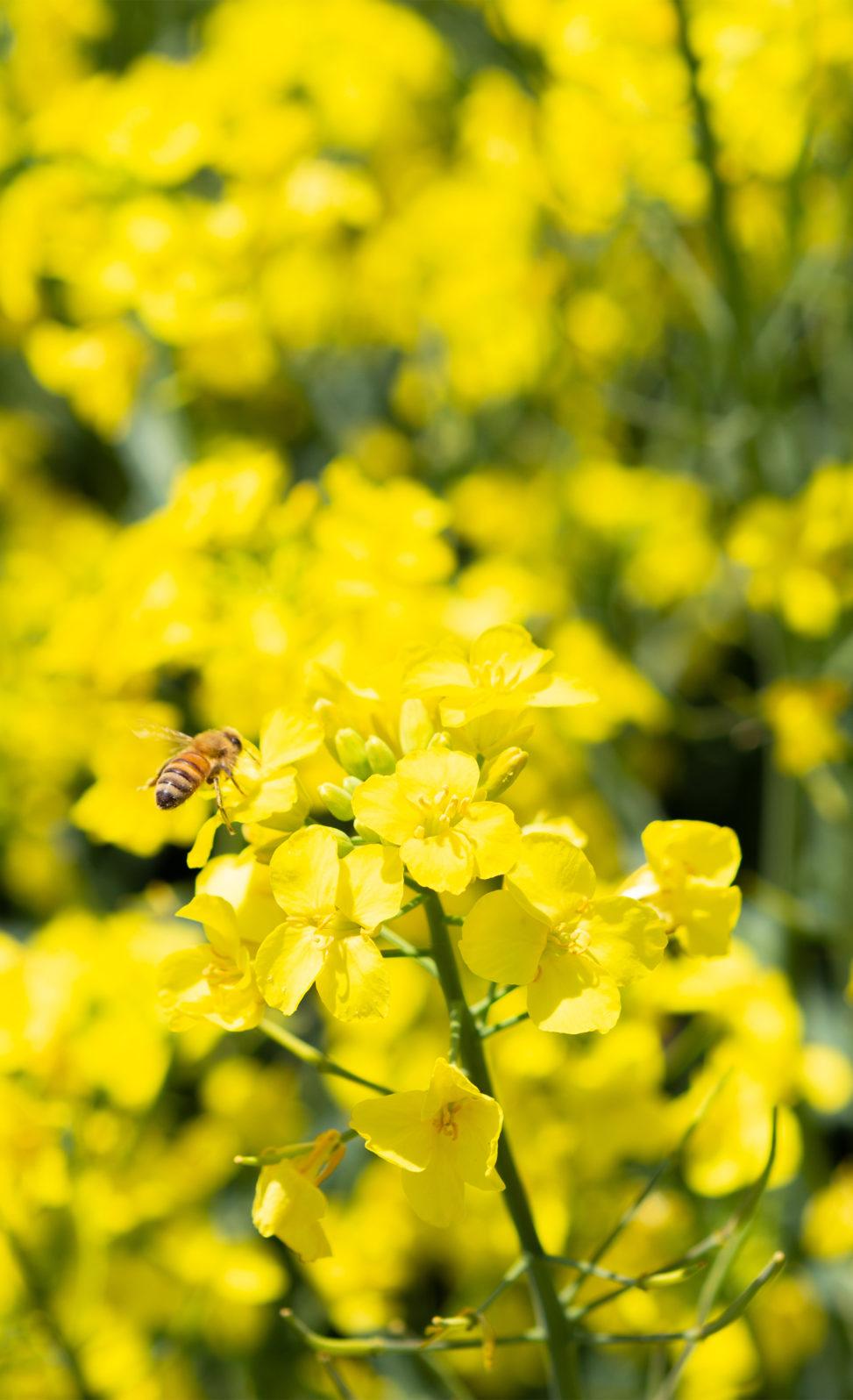 菜の花と蜂の写真素材